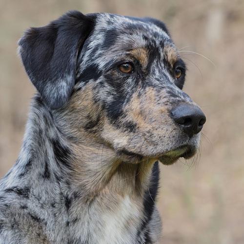Aussidor Labrador Australien Shepherd Erfahrungen meintraumhund