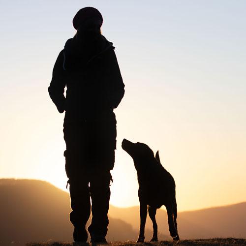 Hundeblick Labrador-Schäferhund-Mischling Hundetraining
