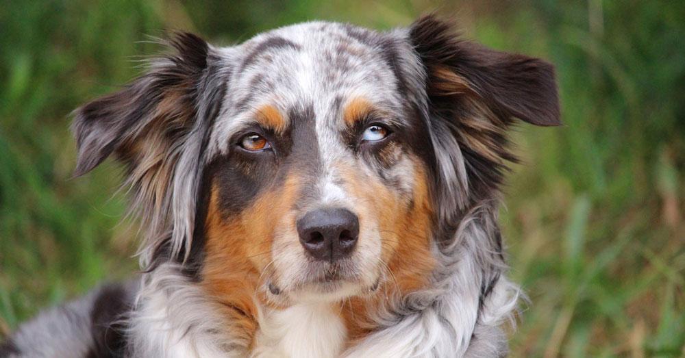 Australien Shepherd Aussie Hundeblick Hibbelhund